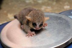 A baby mouse lemur!!!!