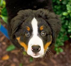 Benedict the Bernese Mountain Dog