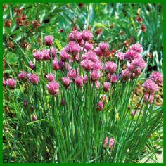 Schnittlauch, frisch verwendet im Geschmack unübertrefflich.  Anpflanzen können Sie Schnittlauch überall dort, wo er ausreichend Feuchtigkeit bekommt  http://www.gartenschlumpf.de/schnittlauch/