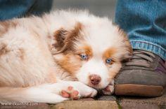 Australian Shepherd puppy leaning against a boot.