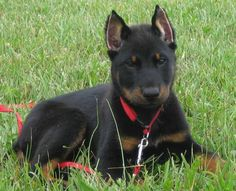 Beauceron Pictures | Beauceron - InfoVeto