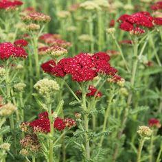 Achillea millefolium 'Red Velvet'RöllikaHÖJD: 70 cmBLOMNING: Juni-Sept