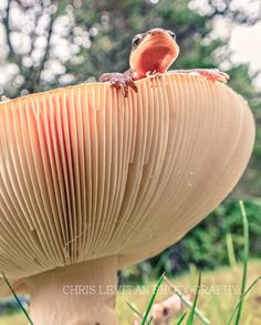 # 'Magical Mushrooms W/ Lizard Wild Mushrooms, Stuffed Mushrooms, Mushroom Pictures, Slime Mould, Mushroom Fungi, Science And Nature, Macro Photography, Natural World, Beautiful World