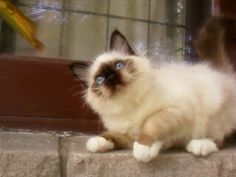 Skyhaven Birmans - More Cats and Kittens