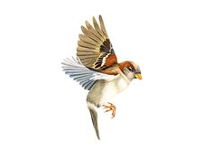 house sparrow tattoo - Google Search
