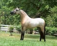 Sired by the late Little Kings Leatherwood Buckeroo, this mare is one of the best paternal siblings to one and only 3X World SUPREME halter horse, Libertys Miss Kentucky. She is currently in foal to a WORLD Champion! Offered by Mini Horse Sales