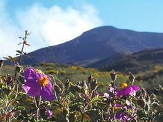 """Isola di Stromboli - Fiori di """"ancusa"""" in primavera sul fianco del vulcano   da Lorenzo Sturiale"""
