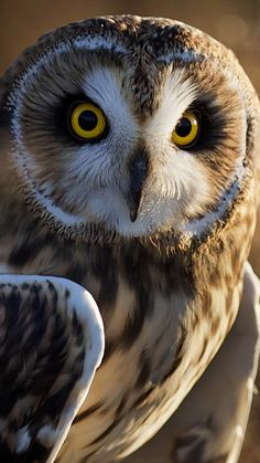 SHORT-EARED OWL - Asio flammeus . . . All continents except Australasia & Antarctica . . . Photo: