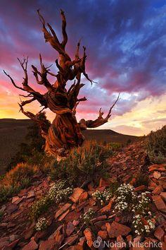 Em uma área protegida no alto das Montanhas Brancas no leste da Califórnia, você pode encontrar as mais antigas árvores vivas do mundo - uma visão deslumbrante
