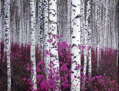 65 Ideas silver birch tree garden aspen for 2019 Birch Tree Art, Birch Forest, Tree Forest, Birch Trees Painting, Forest Flowers, Forest Painting, Flowers Garden, Birch Tree Wallpaper, Forest Wallpaper