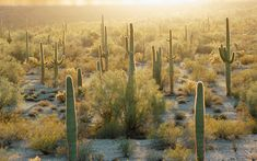 Looking for cactus, cacti and succulents in Canada or the USA. Buy cactus, cacti and succulents online. Learn more about cactus and cacti. Rub' Al Khali, Cactus Seeds, Mojave Desert, Desert Cactus, World Photo, Cacti And Succulents, Live Plants, New Mexico, Landscape Art