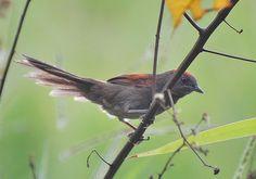 Foto joão-grilo (Synallaxis hypospodia) por Stephen Jones | Wiki Aves - A Enciclopédia das Aves do Brasil