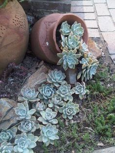 Spilling Pot Succulent Garden- spilling pots could look good with boulders