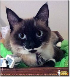 Emma the Siamese, Ragdoll from Missouri is today's Cat of the Day! Read Emma's story and see her photos at http://CatoftheDay.com/archive/2013/October/22.html .
