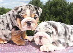 Merle English Bulldog Puppies on Amazing Dog Photo Ideas 6557 Cute Bulldog Puppies, Super Cute Puppies, Cute Bulldogs, English Bulldog Puppies, Cute Baby Dogs, Cute Dogs And Puppies, Cute Baby Animals, Baby English Bulldogs, Baby Bulldogs