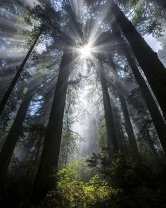 "Planet Earth  (@discovery.hd) on Instagram: "". Faerie Glade.  Photography by © (Ian Plant). Sunbeams pass through mist in the redwoods, Redwood…"""