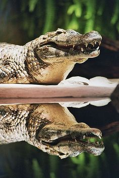 The black caiman of the Amazon rainforest is often mistaken for an alligator.
