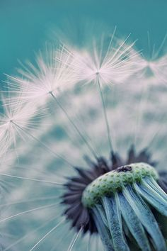 Dandelion....actually, I hate these puff balls, but they do create a beautiful yellowy field of flowers!!!