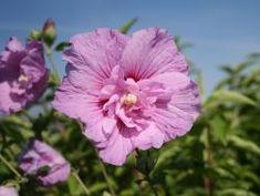 Garteneibisch 'Lavender Chiffon' ® - Hibiscus syriacus 'Lavender Chiffon' ®. Blüht 3 Monate lang!