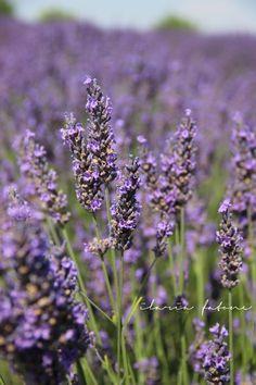 Lavender field in Valensole, Provence - www.unduetre-ilaria.com