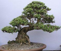 Que tal dar um toque especial em casa com um bonsai...