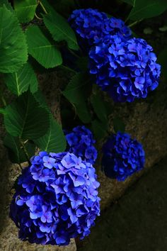 Kyoto Chion-in Temple hydrangea ✫♦๏༺✿༻☘‿MO Aug ‿❀🎄✫🍃🌹🍃🔷️❁`✿~⊱✿ღ~❥༺✿༻🌺♛༺ ♡⊰~♥⛩⚘☮️❋ Nature Plants, Flowers Nature, Exotic Flowers, Small Flowers, Pretty Flowers, Yellow Flowers, Nice Flower, Purple Yellow, Very Beautiful Flowers