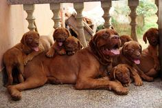 mastiff puppies - Google Search
