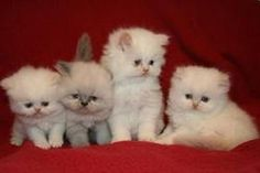 I'm not really a cat person but I would take one of these teacup cats