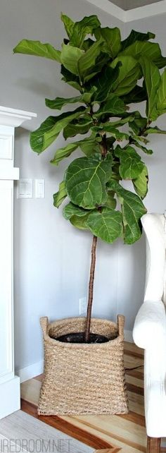 Fiddle leaf fig tree maybe even two!