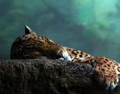 The leopard sleeps tonight