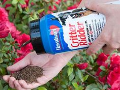 Great for repelling squirrels, skunks, raccoons, dogs, cats and more! OMRI Listed and compliant for use in organic gardening. Visit Havahart learn more here! Skunk Smell In House, Rodents, Skunks, Raccoons, Squirrels, Skunk Repellent, Organic Gardening, Gardening Tips, Small Fountains