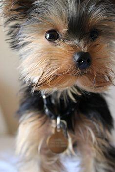 Yorkshire Terrier   PetSync