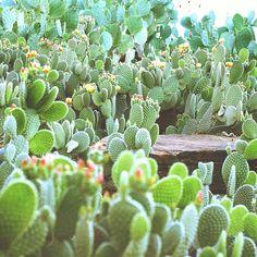 Cactus concert