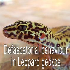 Defaecatorial behaviour in Leopard geckos
