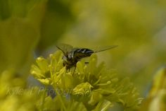 A close up picture of a bee! One of many soon to come. Kyler L Photography.
