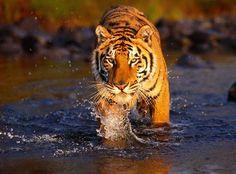Tygr Indický žije převážně v Indii,Bangladéši, Nepálu.Je to lesní šelma.Mají pruhování černé na žluté.Tygří samci měří 2 až 3 metry a váží zhruba 200 až 300 KG.V některých případech mohou přesáhnout 300 KG.Samice měří 1,5 až 2 metry a váží 100 až 200 KG.Tygři jsou masožravci.Loví samostatně a většinou v noci.
