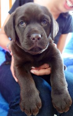 Bailey- our beautiful chocolate labrador puppy