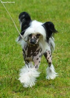 Chinese Crested Pictures (z992806k299)
