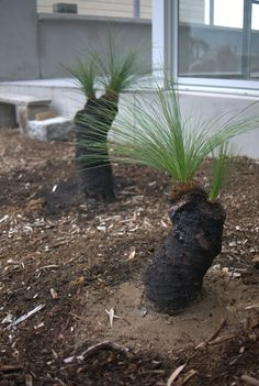 How to Plant a Grass Tree - Mallee Design Bush Garden, Dry Garden, Garden Trees, Garden Plants, Australian Garden Design, Australian Native Garden, Australian Plants, Australian Flowers, Australian Bush