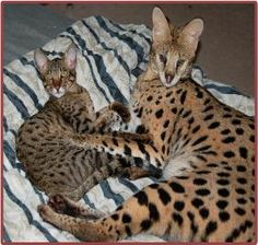 florida bengal savannah cat kitten