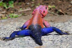 Mwanza Flat Headed Rock Lizard