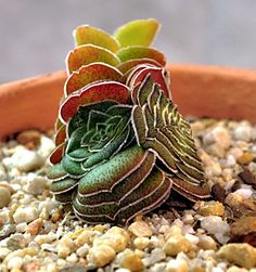 Crassula hemisphaerica. This looks more like a sea animal. It would be great in a faux under-the-sea garden.