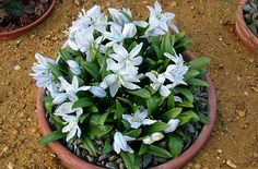 Bulb. Scilla Mischtschenkoana. squill 'Tubergeniana.' 4-6 inches.  Full sun or partial shade.  Average, well-drained soil. Late winter or early spring flowering.