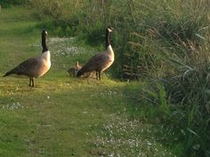 Canadian Geese family at Meadow Lakes
