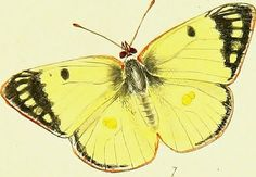 """Image from page 138 of """"The papilios of Great Britain, systematically arranged, accurately engraved, and painted from nature, with the natural history of each species, from a close application to the subject, and observations made in different countries o 