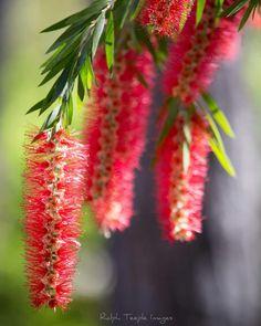 Aussie Christmas, Christmas Time, Merry Christmas, Bottlebrush, Bloom, Pretty, Flowers, Plants, Merry Little Christmas
