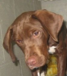 Cappy is an adoptable Chocolate Labrador Retriever Dog in Carrollton, GA. Cappy is handsome young Lab-mix male puppy. He has a very pretty red and white coat. At six months, he still has some growin...