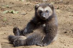 #1 Favorite: Wolverine!!    Check out these first-ever-in-the-UK wolverine cubs born at the Cotswold Wildlife Park in Oxfordshire.  :)