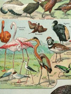 1900 Antique print of BIRDS, different species: ostrich, flamingo, argus bird, kingfisher ... Birds. 114 years old color lithograph on Etsy, 14,38 €
