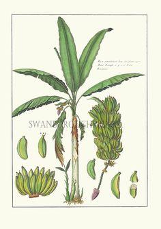 Welcome to Swanborough Prints by SwanboroughPrints Fruit Trees, Palm Trees, Palm Tree Drawing, Banana Palm, Creative Box, Palm Tree Print, Image Archive, Tropical Pattern, Botanical Prints